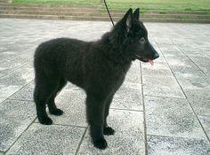 BELGIAN SHEPHEED DOG GRONENDAEL