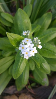 White Forget-me-not Forget Me Not, Garden, Plants, Garten, Gardening, Plant, Outdoor, Gardens, Yard