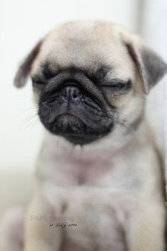 what could be cuter that a pug puppy?