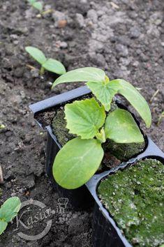 Zapraszam na filmik, w którym pokazuję jak siać ogórki i jak zrobić tunel foliowy dla ogórków.     W większości ci, którzy mają swoje ogródki czy uprawiają warzywa na balkonach i tarasach... Plum, Fruit, Food, Compost, Lawn And Garden, Essen, Meals, Yemek, Eten