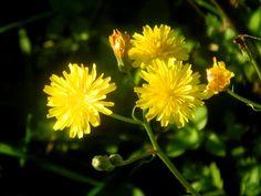 Löwenzahn rauhaariger Blüten DSCN0910: http://selbstbewusstgesund.de/ernaehrung/essbare-wildkraeuter-34-oktober/#more-4024