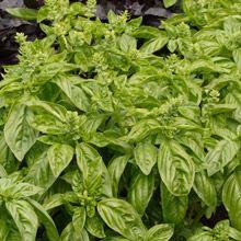 Sweet Basil Organic