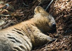 Quokka (Setonix brachyurus) The Quokka is a small macropod about the size of a domestic cat. Like other marsupials in the macropod family (such as the kangaroos and wallabies), the quokka is. Happy Animals, Cute Baby Animals, Animals And Pets, Funny Animals, Wild Animals, Farm Animals, Australian Animals, Tier Fotos, Cute Creatures