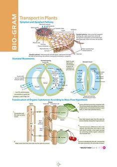 Transportation in plants (from MTG) Biology Review, Study Biology, Ap Biology, Science Biology, Life Science, Science Humor, Biology Projects, Biology Lessons, Biology Memes