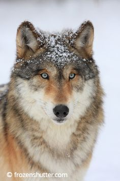 An artist who likes to draw fantasy, animals, werewolves and David Bowie. Beautiful Wolves, Most Beautiful Animals, Wolf Poses, Baby Animals, Cute Animals, Wild Animals, Wolf World, Maned Wolf, Wolf Husky