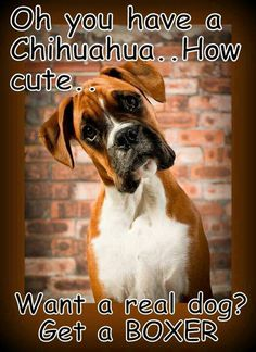The boxer. One of my favourite breeds of dogs. The boxer. One of my favourite breeds of dogs. Love My Dog, Animals And Pets, Funny Animals, Cute Animals, Boxer Puppies, Dogs And Puppies, Pitbull Boxer, Boxer Mix, Yorkie Puppies
