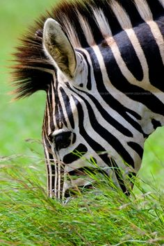 Zebra. - Do you really think Jehovah saved all the animals in an Ark just to have them destroyed by man? Not a chance. Did the Flood really happen? Jesus said it DID. Read Matthew 24:36-42. Do not ignore the worldwide witness being given by Jehovah's people.