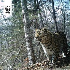 Die seltenste Großkatze der Erde breitet sich weiter aus! Inzwischen wurden wieder 15-20 Amur-Leoparden in China und 49 in Russland gezählt. Mehr Informationen zum Amur-Leoparden findet ihr hier ►►► www.wwf.de/bild-des-tages