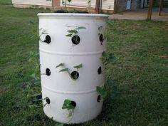 How To Grow Sweet Potatoes | GROWING POTATOES IN DRUMS?-2012-05-25-05.59.19.jpg