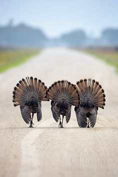 """Three amigos,"" by Christina Evans, via Flickr -- Three Osceola wild turkeys on ""the Florida prairie.""  On our way to town..."
