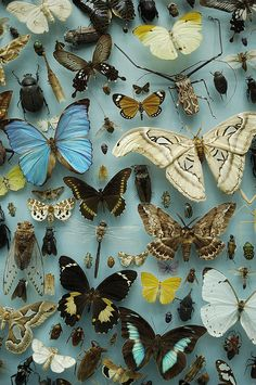 butterflies! I would rather see them while they are living but they are still beautiful.