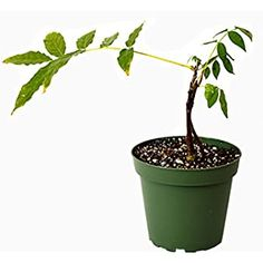 """Amazon.com : Spectacular Blue Moon Wisteria Tree Plant 8-11"""" Tall Potted Plant Fragrant Flowers Seeds BulbsPlants& MoreAttracks Hummingbirds, in Dormancy : Garden & Outdoor Tall Potted Plants, Lawn And Garden, Home And Garden, Outdoor Gardens, Indoor Outdoor, Wisteria Plant, Bushes And Shrubs, Plant Information, Tree Seeds"""
