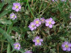 Wildflowers of Turkey - Spergularia rubra