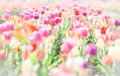 Tulips #tulips #flowers #loveflowers #lovecolours #art #colours #highkey