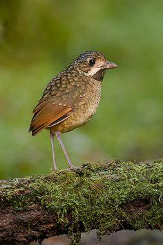 Foto tovacuçu (Grallaria varia) por Sérgio Coutinho | Wiki Aves - A Enciclopédia das Aves do Brasil