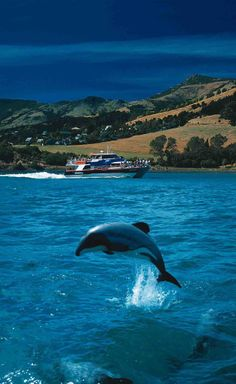 Travel Inspiration for New Zealand - Akaroa Harbour Nature Cruises - Swim with the dolphins, New Zealand Auckland, Nature Sauvage, South Island, Dolphins, Places To See, Travel Inspiration, Tourism, Cruise, Beautiful Places