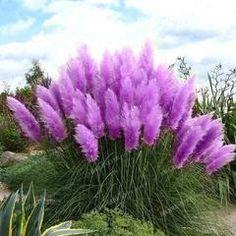 Vibrant Pampas Grass Seeds - 100 seeds Purple Pampas Grass, Philadelphia Magic Gardens, Dubai Garden, Late Summer, Grass Seed, Garden Seeds, Bloom, Yard, Pretty