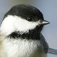 Reminds me of the chickadee that hatched her babies on our deck. Then Sylvester the neighborhood cat, made them his own.