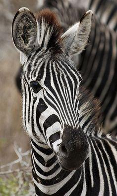 Baby zebra.