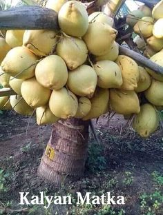 All About Kalyan Matka the Introduction Fruit Plants, Fruit Garden, Fruit Trees, Trees To Plant, All Fruits, Best Fruits, Coconut Varieties, Weird Fruit, High Fiber Fruits