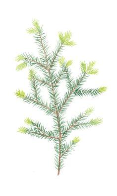 #villiyrtti #herb #nature #spruce #illustration #design #graphic #green Cactus Plants, Herbs, Illustrations, Green, Nature, Design, Watercolor, Naturaleza, Cacti