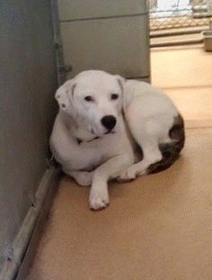 In Garland, TX: Sweety pit up for adoption