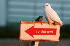 Snowy Owl By Earl Reinink