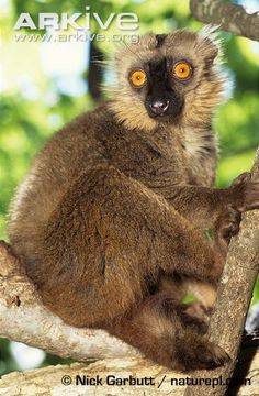 Sanford's brown lemur | Sanford's brown lemur (Eulemur sanfordi)