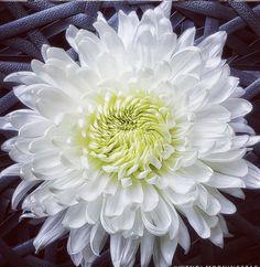Fresh Flowers Near Me | Bulk Flowers Pink And White Flowers, Turquoise Flowers, Orange Flowers, Red And Pink, Spider Mums, White Chrysanthemum, Mums The Word, Pink Sky, Dahlias
