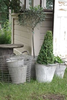 Box topiary and olive tree in zinc buckets