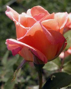 Helen Traubel Rose