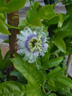 Passion flower. Maracujá. Passiflora edulis