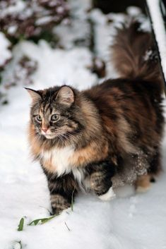 Norwegian Forest Cat - Closely related to the Siberian cat, the Norwegian Forest cat shares many of its characteristics. It is said that these cats where introduced by Vikings around 1000 AD. Like the Viking warrior, this cat is big. Chihuahuas better ste http://www.mainecoonguide.com/how-to-keep-a-maine-coon-growth-chart/ #catsbreedsmainecoon