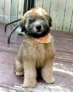 Soft coated Wheaten Terrier puppy!!