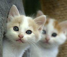 Blue-eyed kittens
