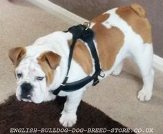 Leather Dog Harness for English Bulldog, Best for Pulling Work Leather Dog Harness for English Bulldog] - : English bulldog Online UK Shop - harnesses, muzzles, collars and leads for English Bulldog! Sale Uk, English Bulldogs, Dog Harness, Uk Shop, Dog Breeds, Collars, Leather, Animals, Types Of Dogs