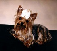 Yorkshire Terrier She looks just like my Zoe*.