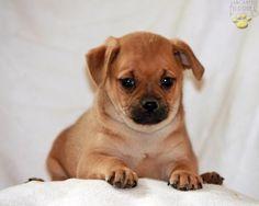Muggin puppy - pug and min pin mix! Adorable!