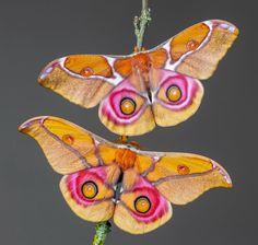 animals, nature, and belleza-bild Beautiful Bugs, Beautiful Butterflies, Amazing Nature, Cool Insects, Bugs And Insects, Beautiful Creatures, Animals Beautiful, Borboleta Tattoo, Moth Tattoo