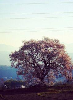 王仁塚のエドヒガン #sakura #CherryBlossom