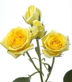 Yellow Follies Spray Rose