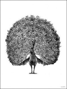 Poster VANILLA FLY - Peacock