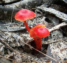 On a single evening walk on Stadbroke Island I spotted all these beautiful examples of fungi. Stradbroke Island, Australian Plants, Mushroom Fungi, Dandelion, Flora, Autumn, Red, Beautiful, Fall Season