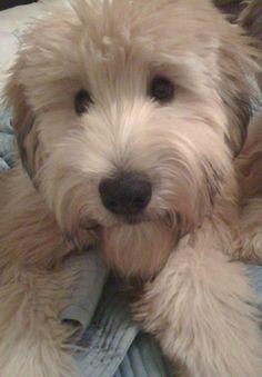 My Wheaten Terrier Sweet Wrigley