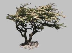 Hawthorn tree or May bush or May tree.