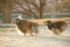 「twitter sheltie」の画像検索結果 #ShetlandSheepdog