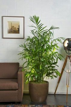 Your Online Indoor Plants Nursery and Pots Store. The most convenient way to buy House Plants and Office Plants In Houston. Best Indoor Plants, Indoor Plant Pots, Big Plants, Lawn And Garden, Home And Garden, Bamboo Palm, Indoor Bamboo, Bamboo Plants, Garden Plants