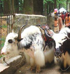 Yaks [(Bos grunniens] in Manali, Himachal Pradesh, India