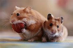 I just love hamsters! So cute!We had hamsters before they were on TV Baby Animals, Funny Animals, Cute Animals, Funniest Animals, Cute Hamsters, Wale, Tier Fotos, Mundo Animal, Funny Animal Pictures