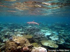 Whitetip Reef Shark by Haanee Naeem, via Flickr